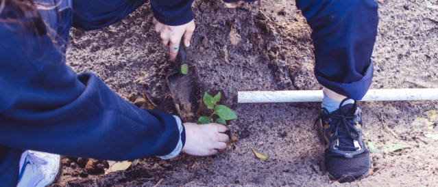 close up image of hands planting a small tree into the ground with a spade.