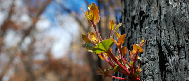 New growth on bushfire burnt tree.